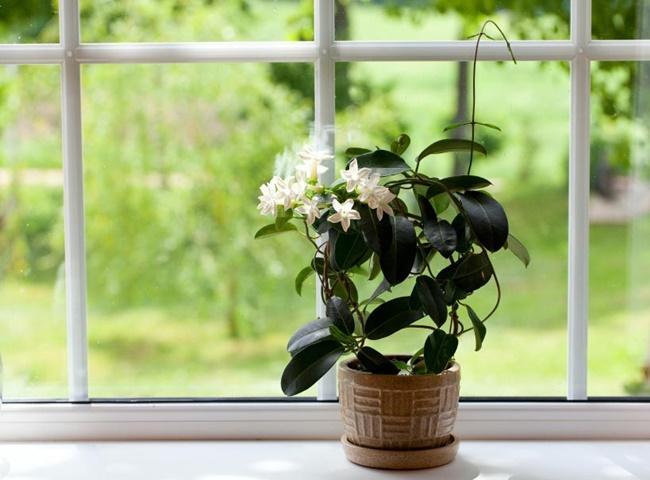Hoa nhài mang lại hương thơm dễ chịu cho phòng ngủ