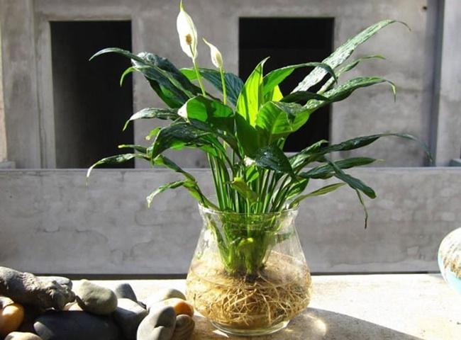 Lan Ý là một loại cây thích hợp trồng trong phòng ngủ